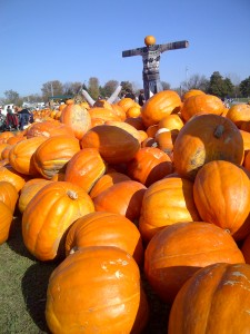 Pumpkins are a big part of Canadian Thanksgiving, baked into pies.