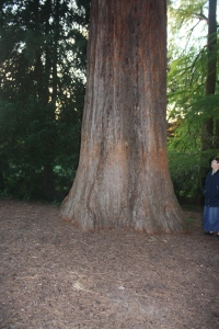 One of the giant sequoias in Badenweiler.