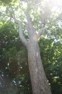 This red oak tree was planted in 1815, the year John A. Macdonald was born.