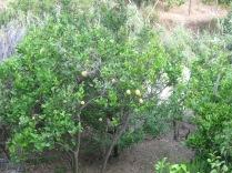 Lemon trees along the trail.